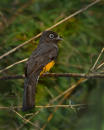 Guianan Trogon, female