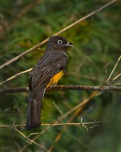 Guianan Trogon, female