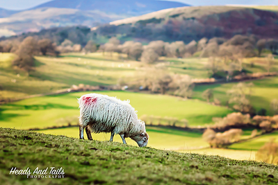 Sheep Grazing, Wales, United Kingdom