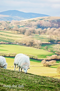28 Sheep Grazing, Wales, United Kingdom