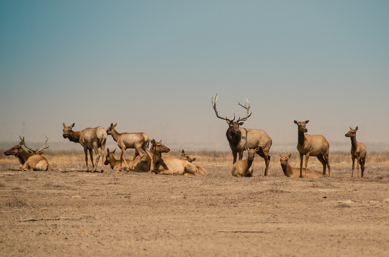 Tule Elk lounging in the noonday sun