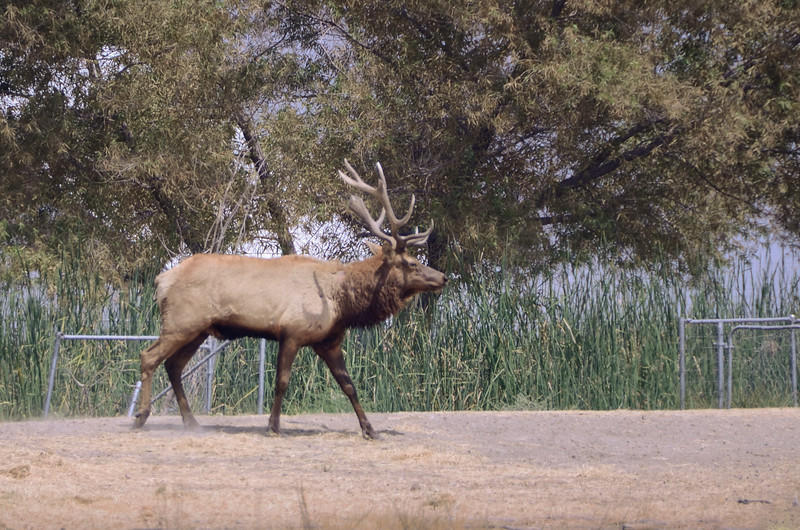 Tule Elk near the entrance to the reserve