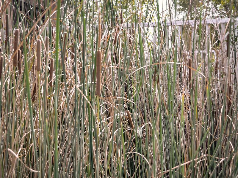 Tule Grass