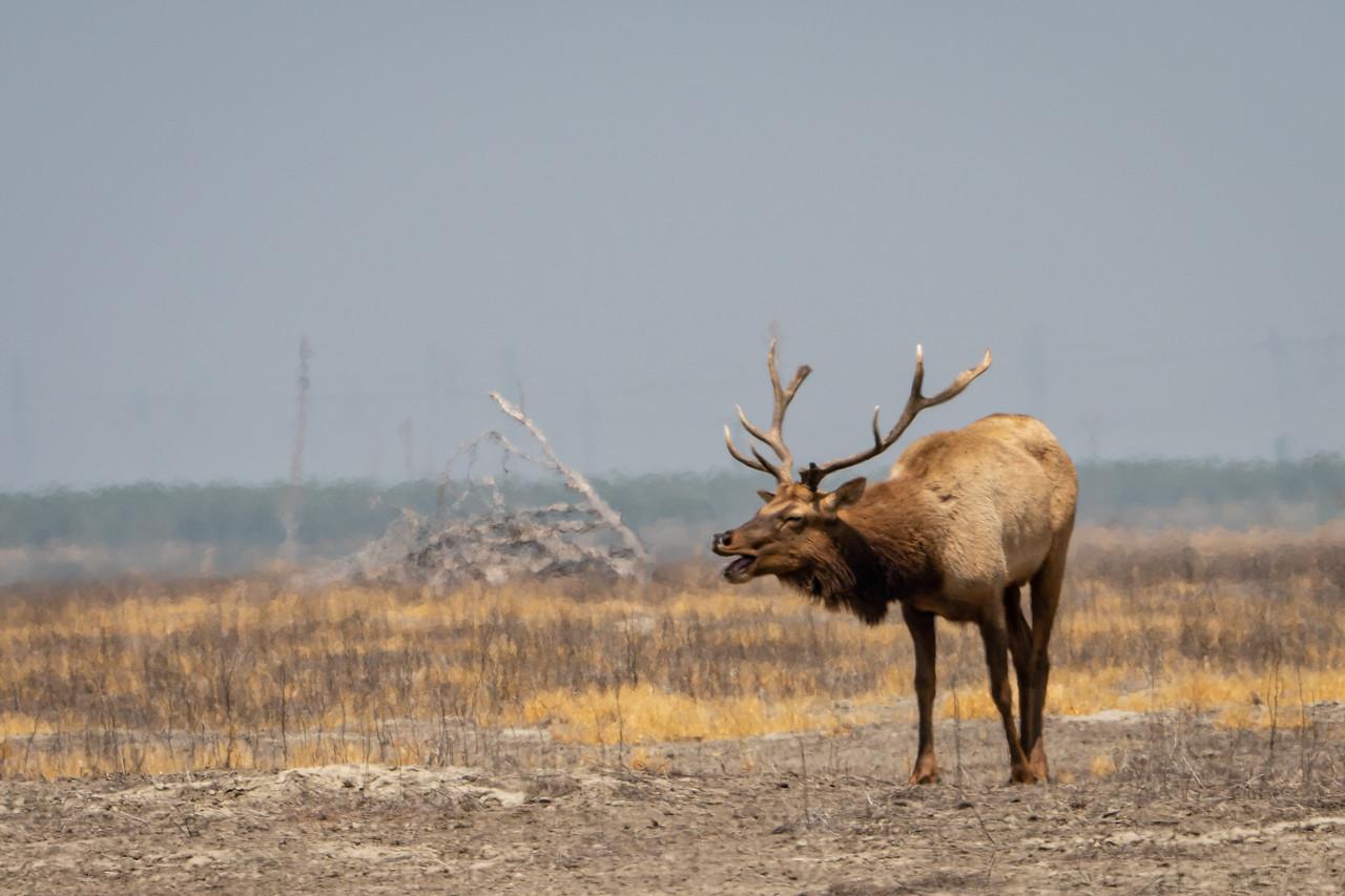 Tule elk yowling at us.