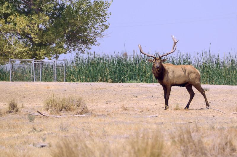 Tule Elk, Buttonwillow-CA
