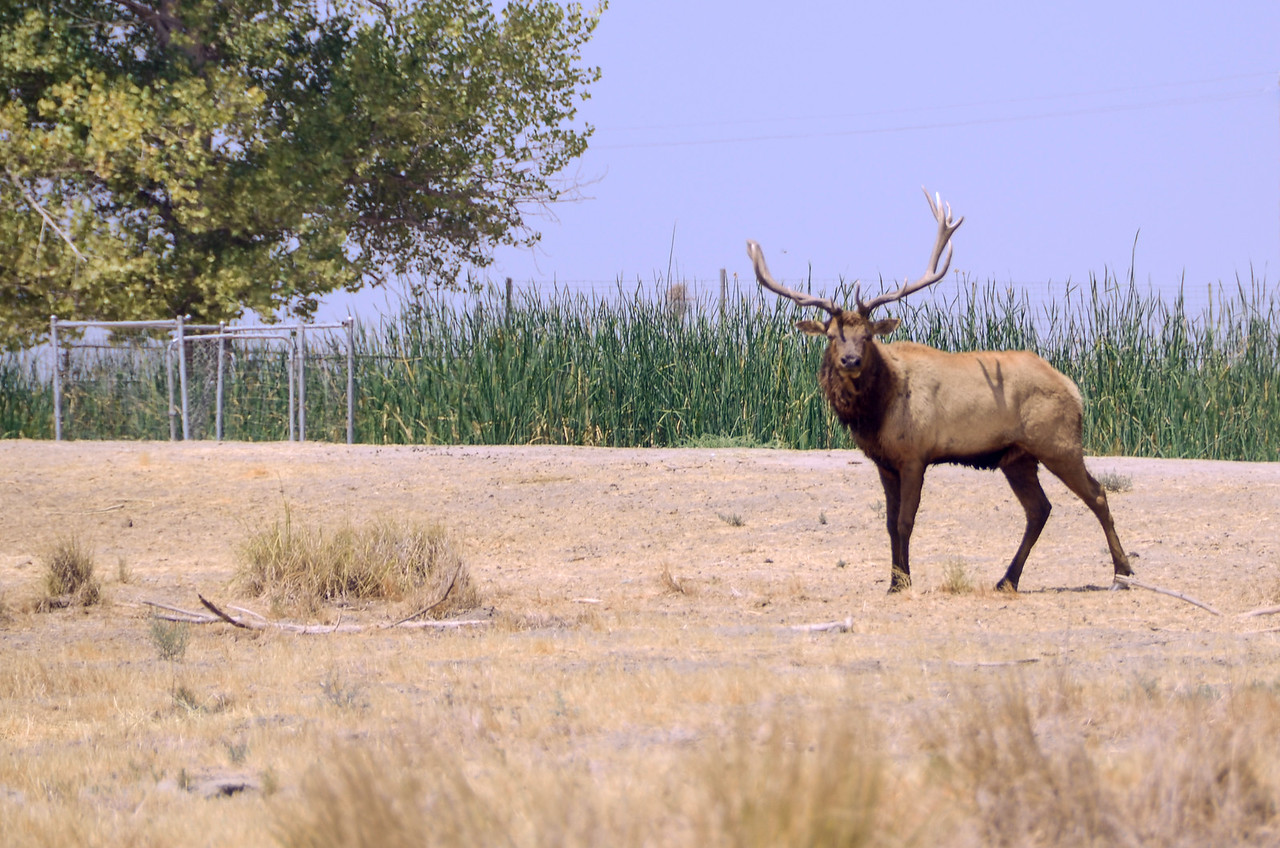 Tule elk was right near the gate to the reserve!