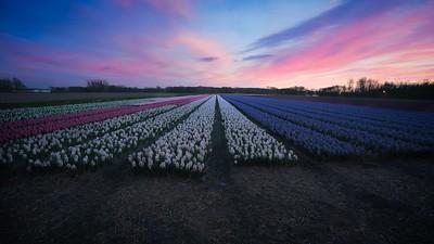 Hyacint white-purple
