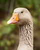 JHP 20190720-131 French goose