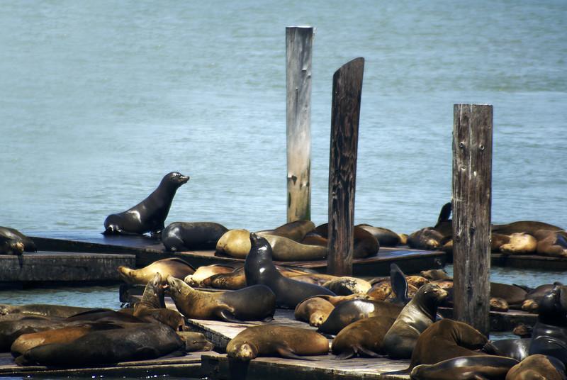 SEA LIONS. HARBOUR. SAN FRANCISCO.