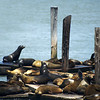 SEA LIONS. HARBOUR. SAN FRANCISCO.