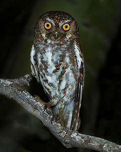 Elf owl at night