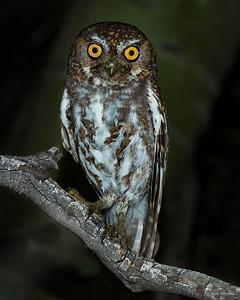 Elf owl at night