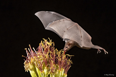 Lesser Long-nosed bat feeds off an agave blossom