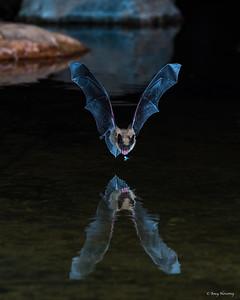 A Long Ear Myotis bat meets a minnow