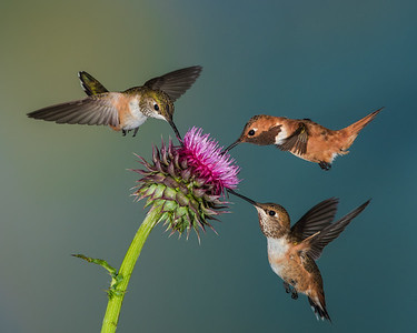 Rufous hummingbirds feeding