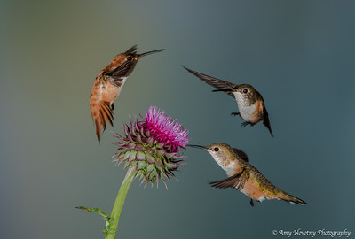 Rufous hummingbirds feeding and fighting