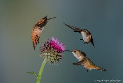 Rufous hummingbirds feeding and fighting