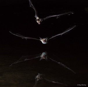 Pallid bats swoop through the night