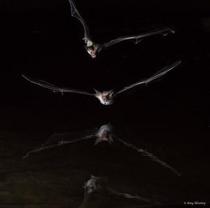 Pallid bats swoop through the night