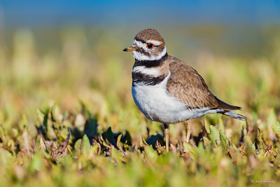 Killdeer rummaging for food