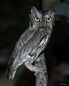 Western Screech owl at night