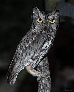 Western Screech owl at night