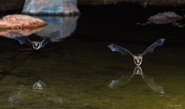 Long Ear Myotis bats dive for a sip