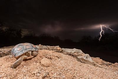 Desert Tortoise in a storm