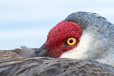 Up close sandhill crane adult