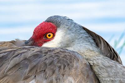 A resting sandhill crane