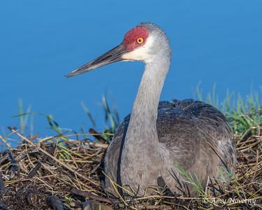 Adult sandhill crane nesting