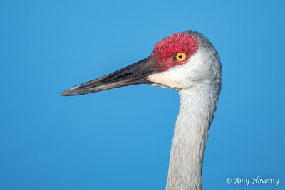 Headshot of an adult sandhill crane