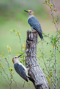 Golden-fronted Woodpeckers search for food