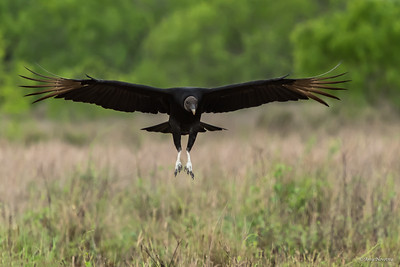 Black vulture comes in for a landing