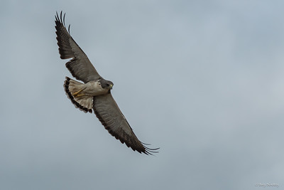 White-Tailed Hawk watches from above