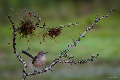 Mockingbird rests on a lichen-covered branch