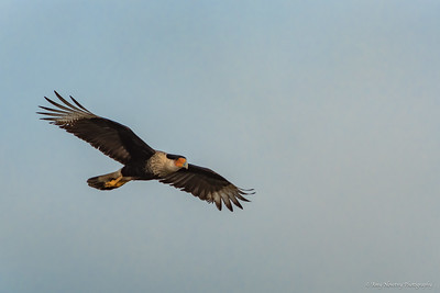 Crested Caracara soars