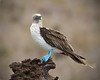 Galapagos Blue-Footed Boobie