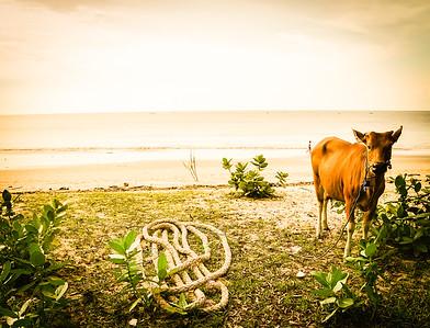 Bali Cow