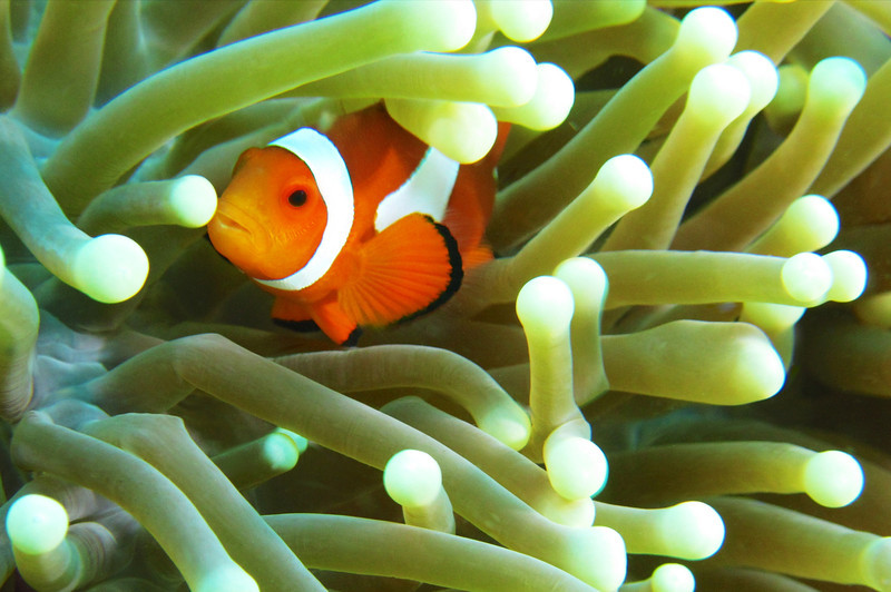 Adult Clownfish in Anemone 1