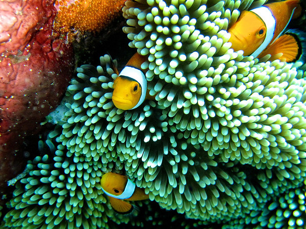 3 Clownfish on Anemone