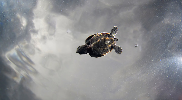 Baby Green Turtle Swimming  Above