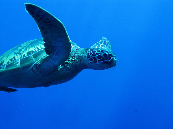 Green Adult Turtle in the Blue