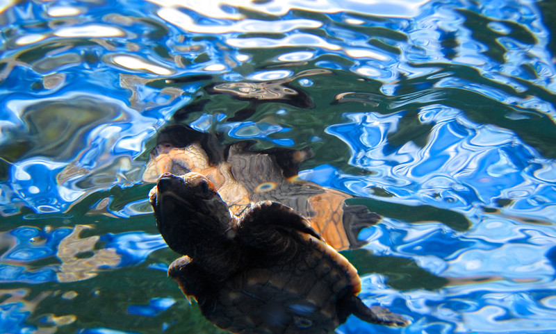 Baby Green Turtle Swimming 3