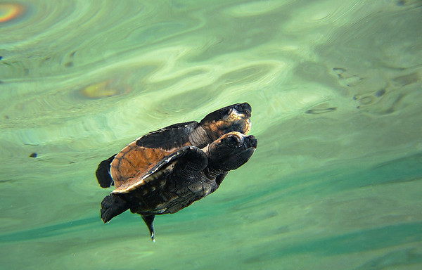 Swimming Baby Green Turtle