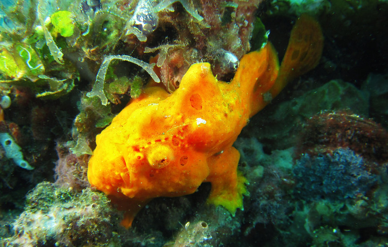Frogfish
