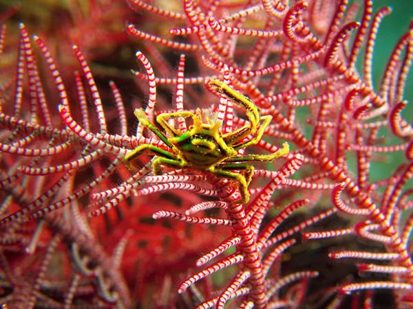 Hexagonal Crynoid Crab