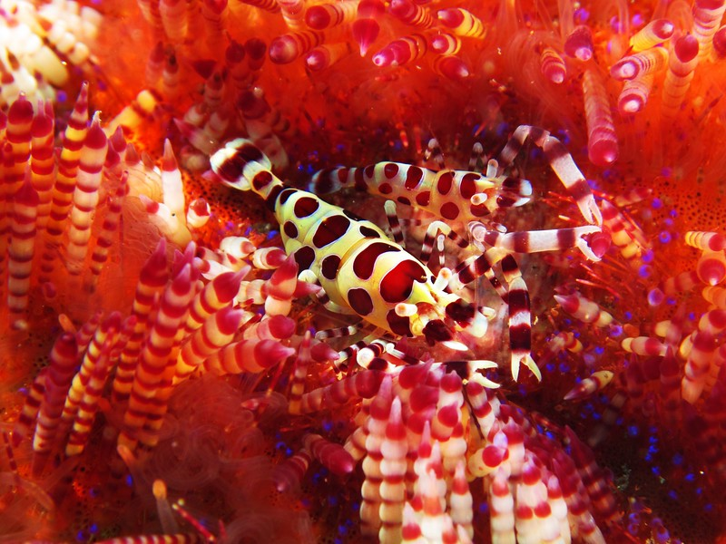 Coleman Shrimps on Anemone