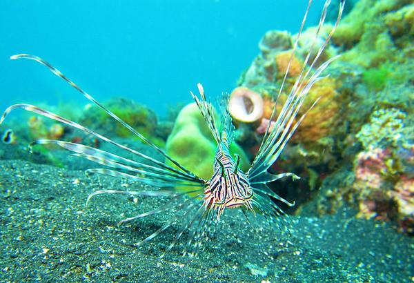 Juvenile Firefish