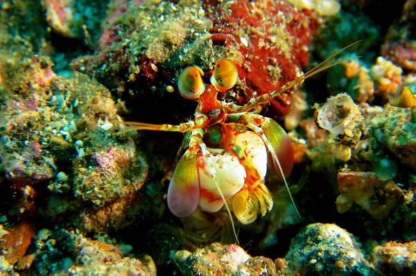 Tiger Mantis Shrimp